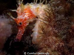 Hippocampus guttulatus Secret beauty by Cumhur Gedikoglu