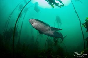 Sevengill shark, False bay, South Africa. by Filip Staes