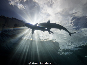 2 beautiful reef sharks happen to cross and block the sun... by Ann Donahue