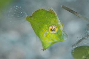 Juvenile file fish by Kelvin H.y. Tan