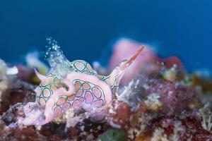 Psychedellic batwing slug by Kelvin H.y. Tan