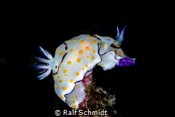 A nudi top on a stone by Ralf Schmidt