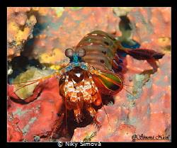 mantis shrimp by Niky Šímová