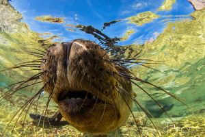 """Close encounter"", Californian sealion, La Paz, Mexico. by Filip Staes"