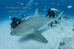 Bull Shark and Divers, Playa del Carmen México by Alejandro Topete