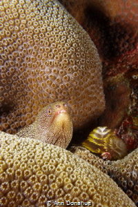 Eel peeking out of corals with Christmas Tree worms. by Ann Donahue