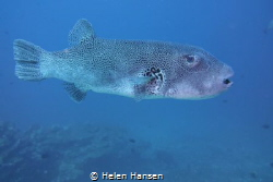 Spotted puffer fish cruising pass checking me out by Helen Hansen