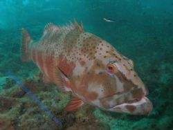 Coral Trout Navy Pier Exmouth by Brad Cox