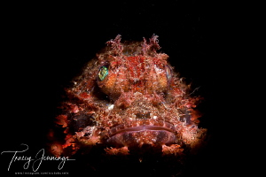Scuba arrays rhinopias by Tracey Jennings