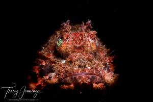 Scuba arrays rhinopias by Tracey Jennings