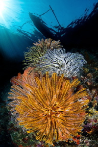 """Crinoids"", Banda sea, Indonesia. by Filip Staes"