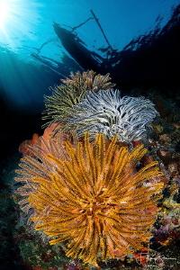 """Crinoids"", Banda sea, Indonesia. by Filip Staes"