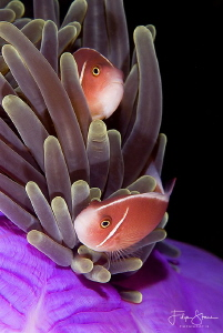 Clownfish, Komodo, Indonesia. by Filip Staes