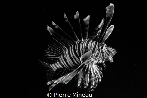 Lionfish. Almost collided with it face on, on a night div... by Pierre Mineau