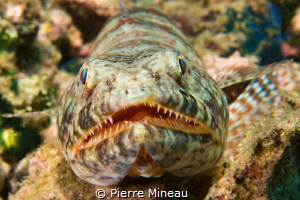 Lizard fish up close and personal. by Pierre Mineau