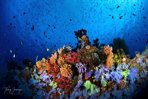 Maldives soft coral by Tracey Jennings