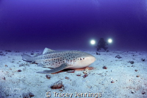 leopard shark by Tracey Jennings