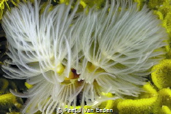 The feather duster worm with its 2 spirals by Peet J Van Eeden