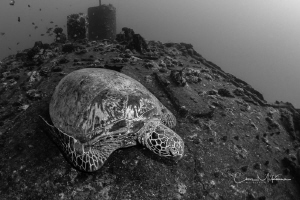 Honu on the deck of the Sea Tiger by Chris Mckenna