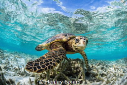 Hawksbill Turtle in a shallow lagoon by Henley Spiers