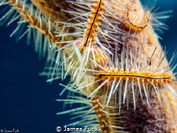 Brittle Star Embrace by James Funk