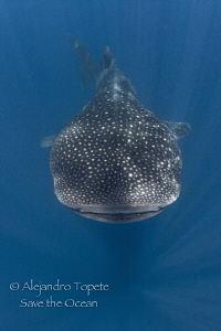 Whaleshark in the Lines, Isla Contoy México by Alejandro Topete