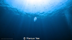 Title: The Lonely Jelly  When : Oct 2017 Where : Tioman... by Marcus Yee