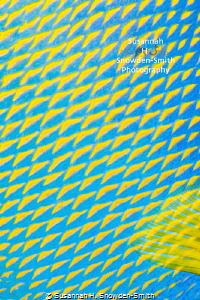 """Electric Yellow"" - Detail of a queen angelfish's scales ... by Susannah H. Snowden-Smith"