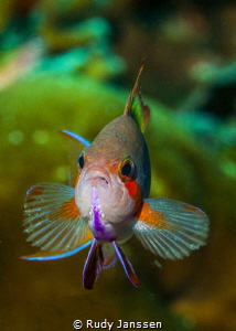RAJA AMPAT ;  THREADFIN ANTHIAS by Rudy Janssen