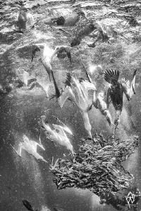 A B&W rendition of one of my favourite sardine run images... by Allen Walker