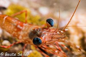Shrimp at night dive by Beate Seiler