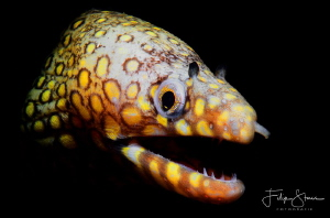 Leopard moray eel, (Enchelycore pardalis), La Paz, Mexico by Filip Staes