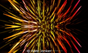 Fireworks Urchin