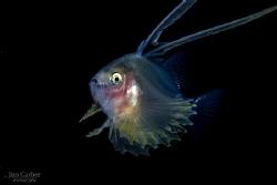 Larval Soap Fish - Black water dive - Anilao by Jim Garber