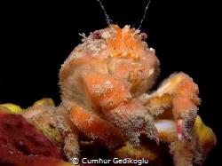 Dromia personata A Sponge crab by Cumhur Gedikoglu