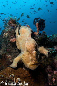 Yellow forgfish at the reef of pintuyan by Beate Seiler