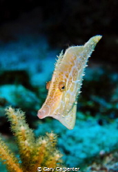 Slender filefish (Monocanthus tuckeri) - Picture taken at... by Gary Carpenter