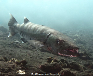 Barracuda at Liberty wreck, Tulamben. by Athanassios Lazarides