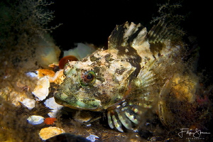 Longspined bullhead(Taurulus bubalis), Zeeland, The Nethe... by Filip Staes