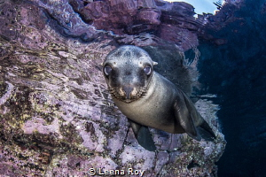 Sea lion pup by Leena Roy