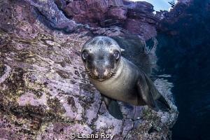 Sea lion pup by Leena Roy