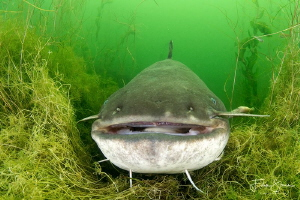 Wels catfish (Silurus glanis) by Filip Staes