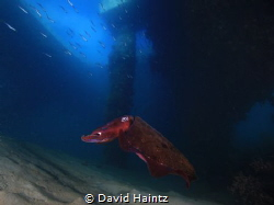 Cuttlefish taken at Blairgowrie marina by David Haintz