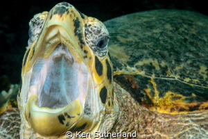 This turtle, at Slow and Easy dive site in Yap, posed its... by Ken Sutherland