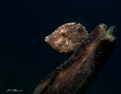 B A C K L O G Filefish by Ton Ghela