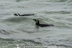 cape penguins - Boulders beach by Claudia Weber-Gebert