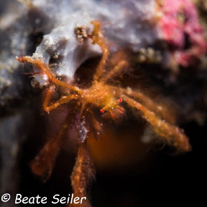 orang-utan crab ,night dive at Pintuyan housreef by Beate Seiler