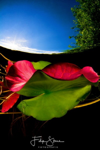 Leaves of  the waterlilies, Turnhout, Belgium. by Filip Staes