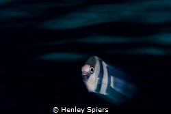 Humbug Damselfish by Henley Spiers