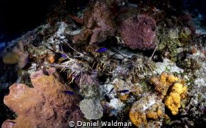 Lobsters by Daniel Waldman